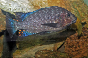 Petrochromis heffalumpus (plan large) en aquarium