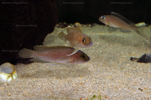 Neolamprologus ventralis couple en aquarium