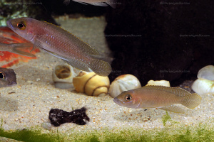 Neolamprologus ventralis couple