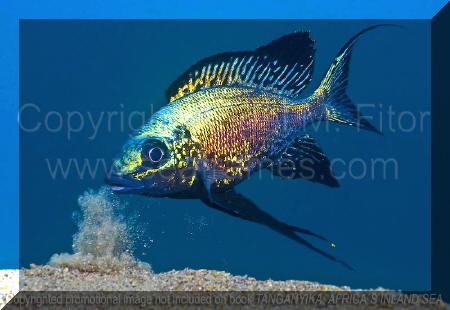 Cyathopharynx furcifer | Tanganyika, Africa's Inland Sea.