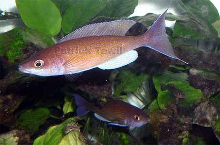 Cyprichromis pavo - mâle en aquarium -