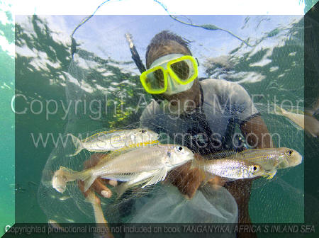 Xenotilapia ochrogenys, flavipinnis, coup de filet au lac Tanganyika | Tanganyika, Africa's Inland Sea.