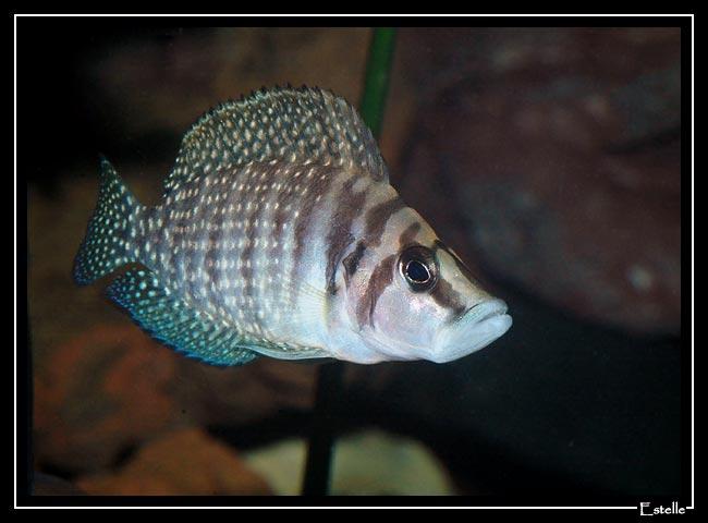 Altolamprologus calvus, femelle en aquarium