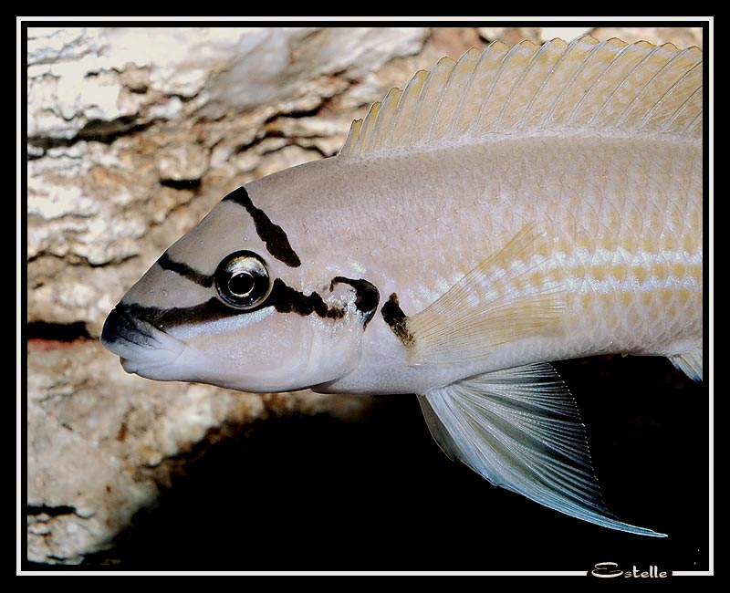 Chalinochromis Spp : Paracyps or Chalinochromis Brichardi? - The Cichlid Room Companion