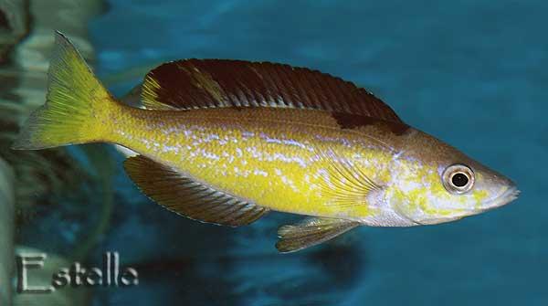 "Cyprichromis microlepidotus ""Gombe"""