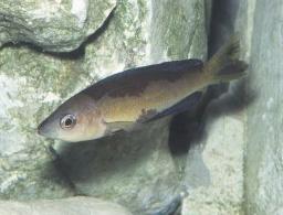 Cyprichromis microlepidotus.