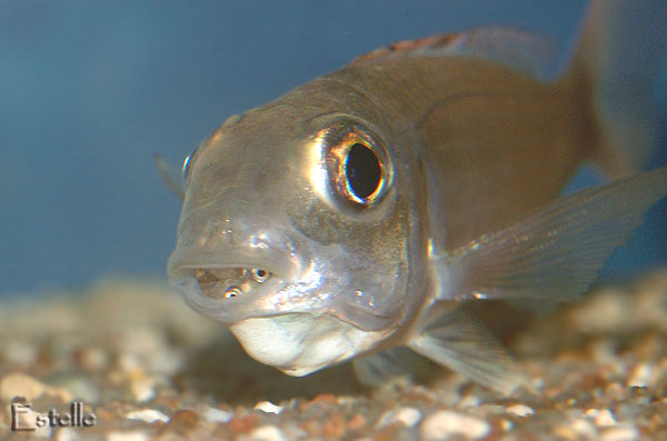 Information on Ectodus descampsii. - The Cichlid Room Companion