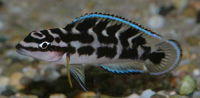 Anybody else into aquariums? - Page 2 Julido-transcriptus