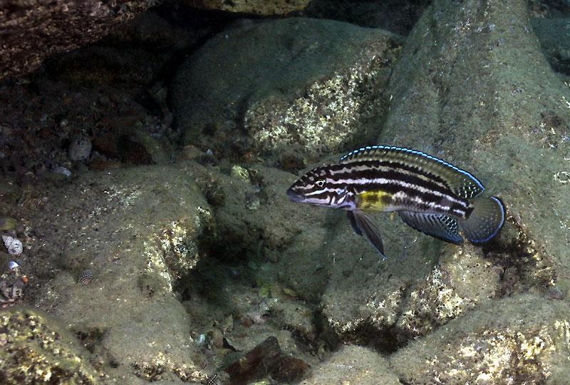 julidochromis-regani-e1.jpg