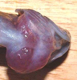 Neolamprologus calliurus atteint d'un goitre gros plan de la gorge et de la thyroïde hypertrophiée.