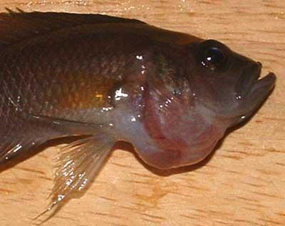 Neolamprologus calliurus atteint d'un goitre, détail.