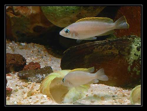 Neolamprologus caudopunctatus, couple sur la coquille servant de site de ponte.