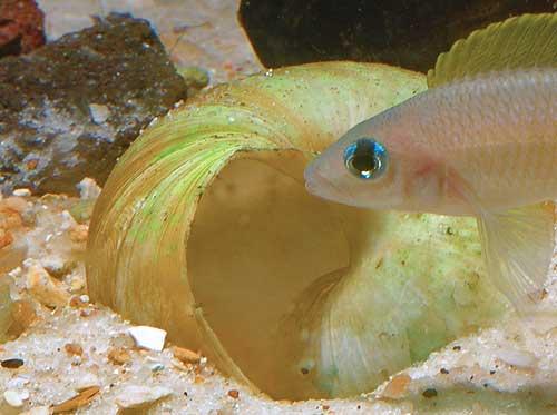 Neolamprologus caudopunctatus, femelle gardant ses oeufs.