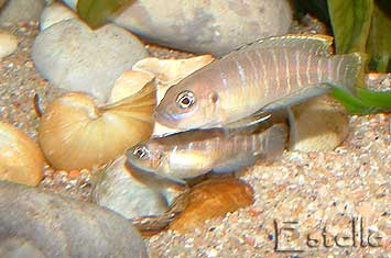 Neolamprologus brevis Chimba couple.