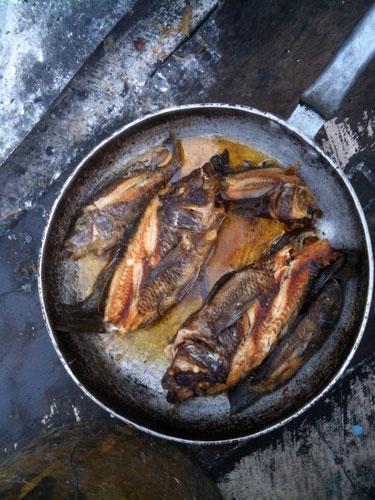 Petrochromis frits.