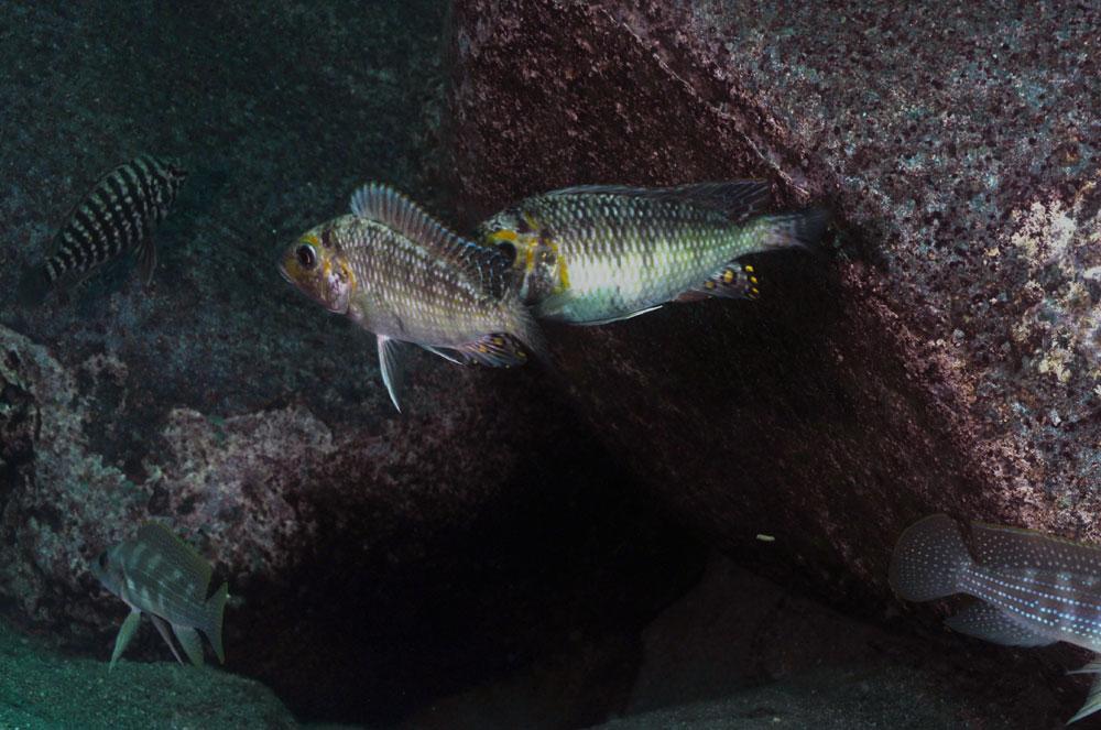 petrrochr-orthognathus-m-a.jpg