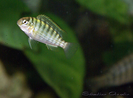 Pseudosimochromis curvifrons, alevin.