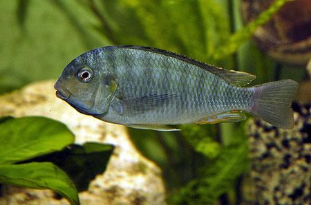 Pseudosimochromis curvifrons, spécimen dominant dans un aquarium de tropheini.