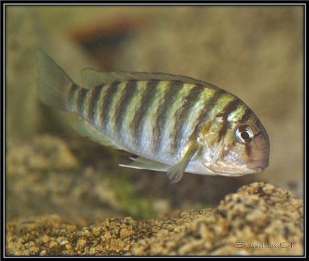 Pseudosimochromis curvifrons, femelle en aquarium.