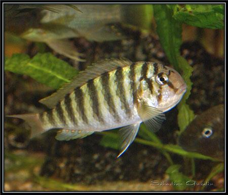 Pseudosimochromis curvifrons, femelle en incubation buccale.
