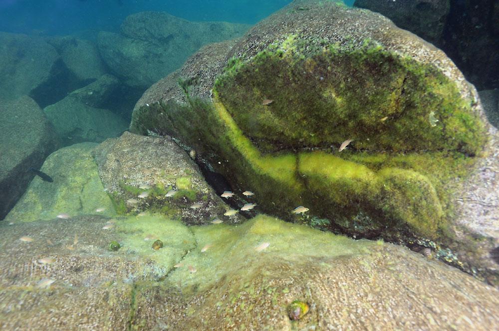variabilichromis-nid.jpg
