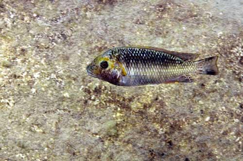 photo-5-interochromis
