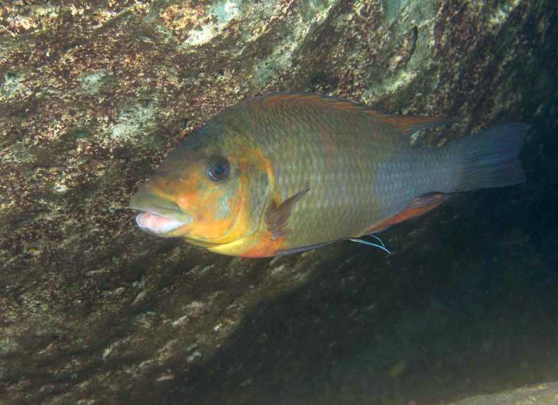Petrochromis sp Kazumbe