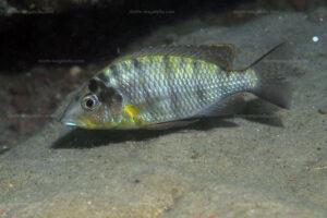 Gnathochromis pfefferi
