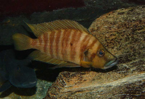 "Altolamprologus compressiceps ""Chaitika"""