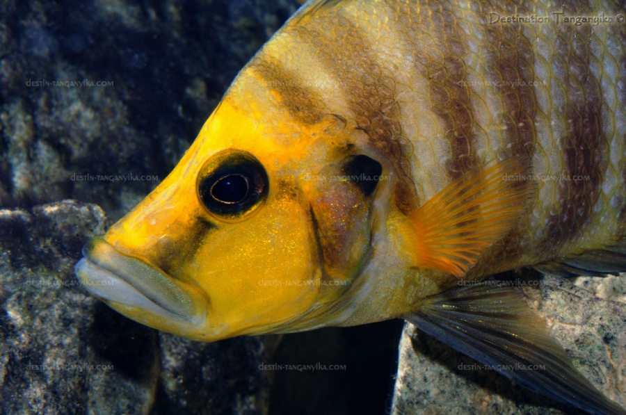"Altolamprologus compressiceps ""golden head"" (Kantalamba)."
