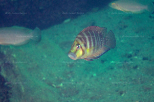 "Altolamprologus compressiceps ""golden head"""