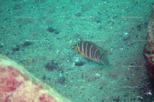 "Altolamprologus compressiceps ""golden head"" (Kasanga)."