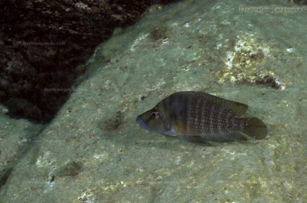 "Altolamprologus compressiceps ""Bulu point"""