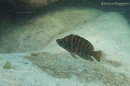 "Altolamprologus compressiceps ""Lyamembe"""