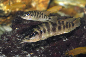 Altolamprologus fasciatus, couple en aquarium.