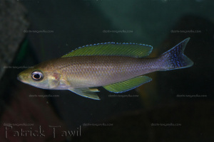 Cyprichromis coloratus.