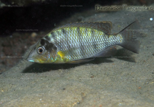 Gnathochromis spp. Poll 1981