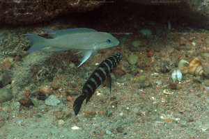 Neolamprologus cylindricus   Ulwile