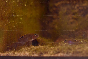 Neolamprologus kungweensis - couple - Congo.
