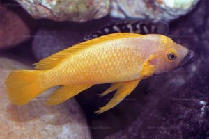"Neolamprologus leleupi   ""black throat""  ( Poll  1952)"