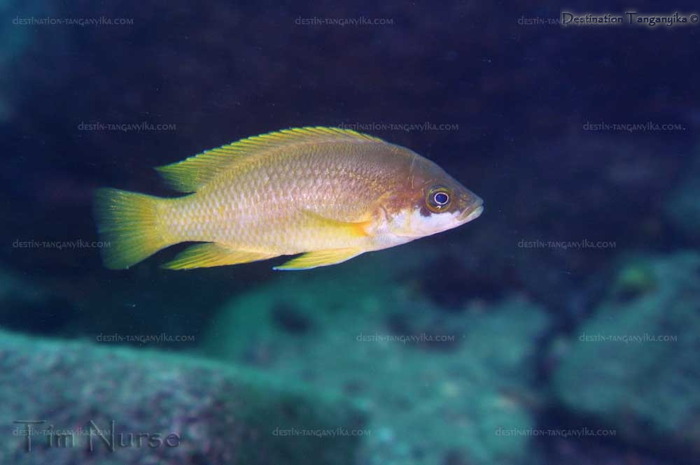 Neolamprologus mustax  Gombi