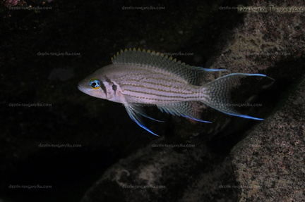 Neolamprologus pulcher Molwe