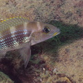 Neolamprologus tetracanthus Molwe