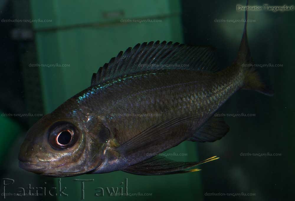ophthalmotilapia-boops-nko-pt-c.1.jpg