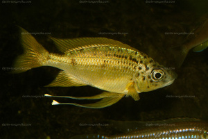 Ophthalmotilapia nasuta 'Tiger'