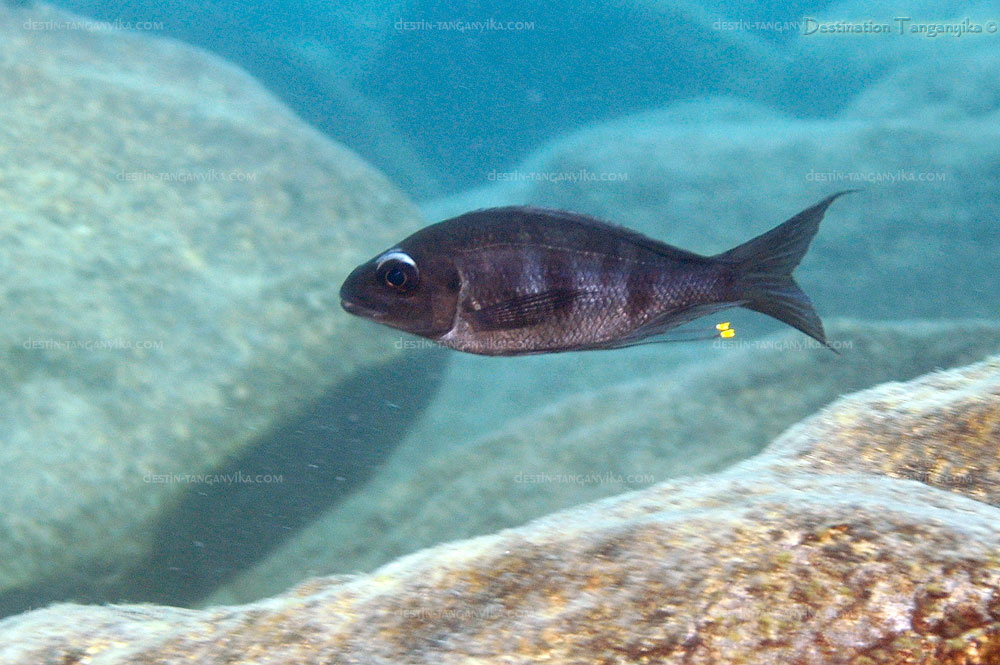 Ophthalmotilapia ventralis Lyamembe.