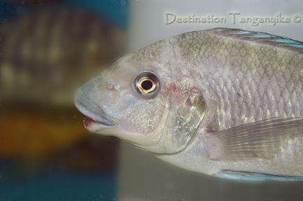 Petrochromis sp. giant au magasin Abysse.
