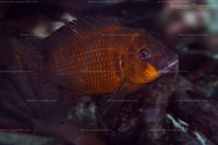 Petrochromis sp. 'red' (aff. polyodon).