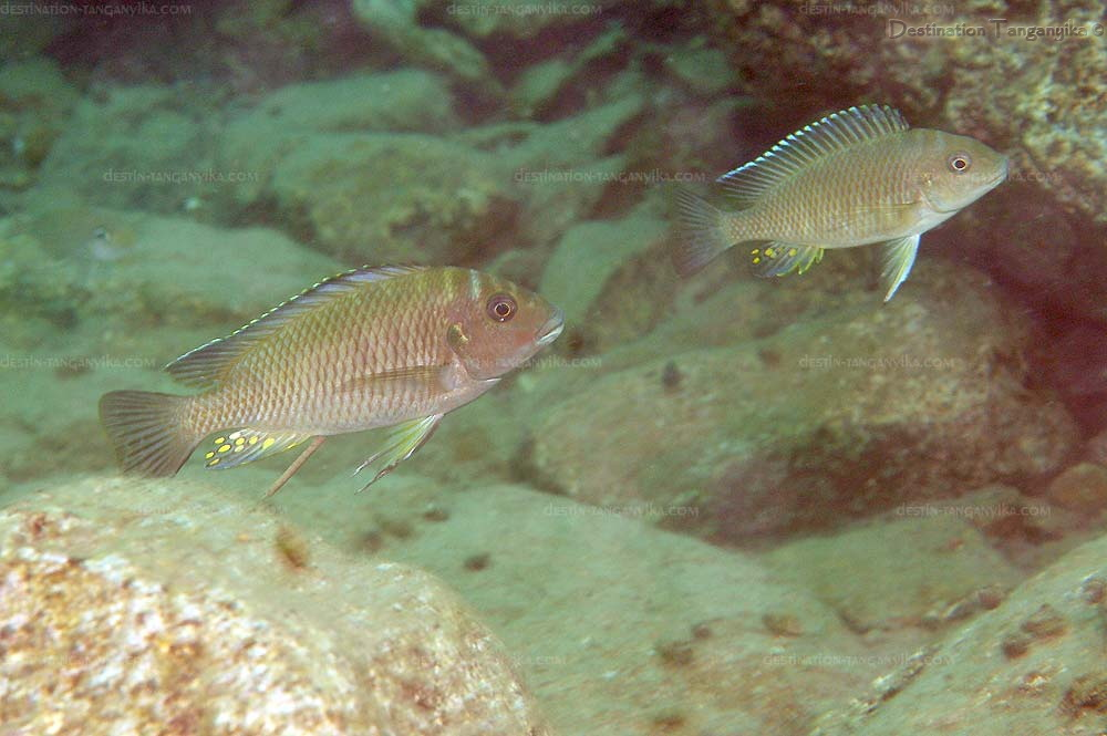 Petrochromis orthogathus, à Bulu point.