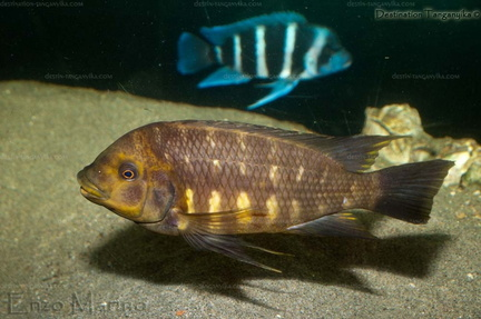 Petrochromis horii kipili brown- en aquarium.